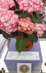 Il premio nel 2014 al Chelsea Flower Show è andato a questa ortensia